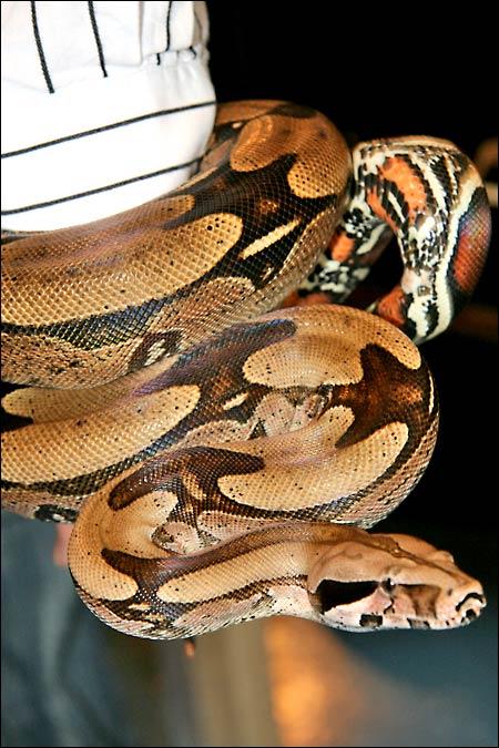 Des photos de tout mes serpents Bccmale01