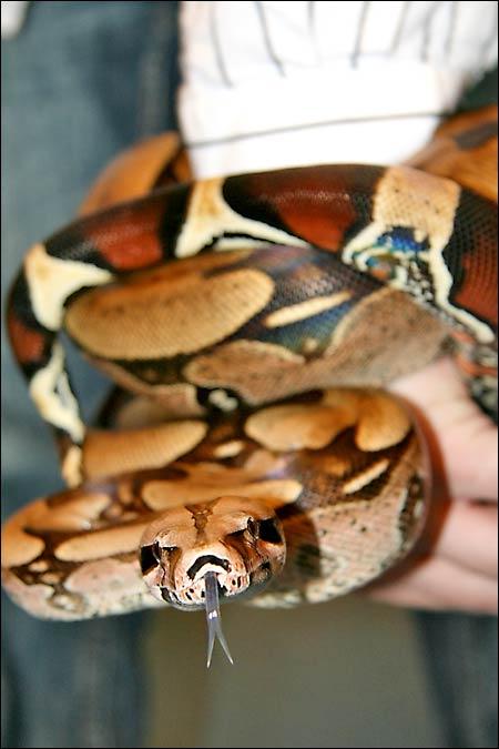 Des photos de tout mes serpents Bccmale02