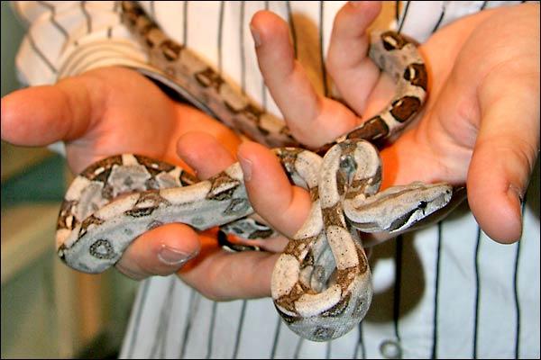 Des photos de tout mes serpents Bcicouple02