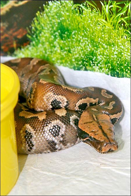 Des photos de tout mes serpents Blood01