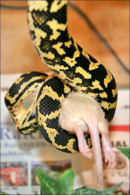 Des photos de tout mes serpents Jcp03