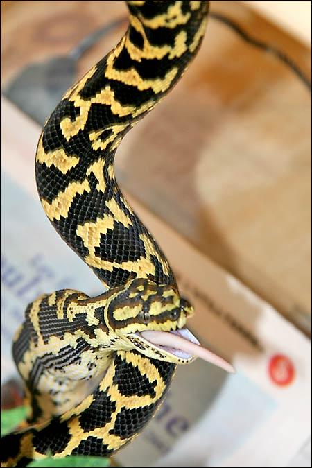 Des photos de tout mes serpents Jcp06