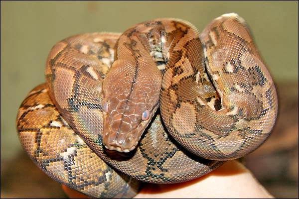 Des photos de tout mes serpents Retic02