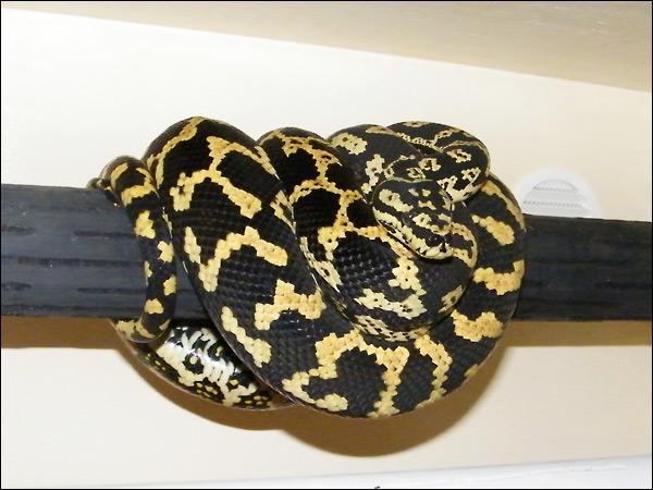 Jungle carpet python :) Jcp01_6mars09