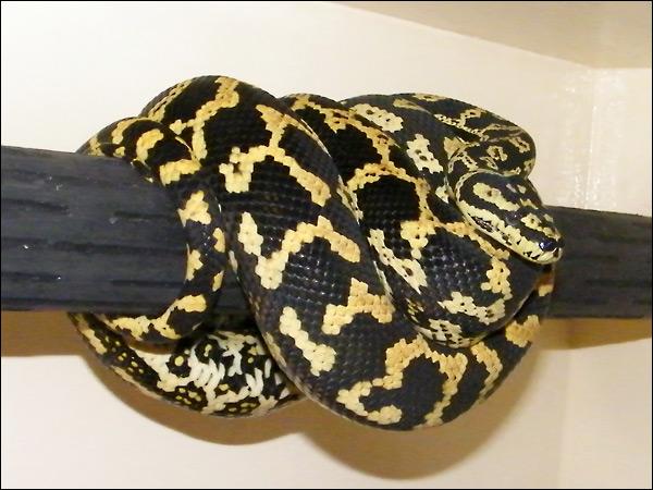 Jungle carpet python :) Jcp02_6mars09