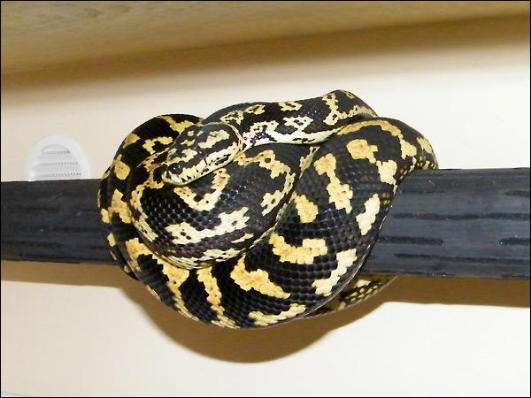 Jungle carpet python :) Jcp03_6mars09